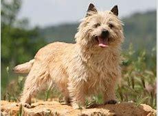 Cairn Terrier : chien et chiot.   Wamiz