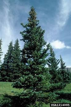 engelmann sprüche engelmann spruce picea engelmannii pinales pinaceae