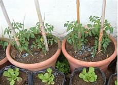 coltivare in vaso coltivare pomodori coltivare pomodori