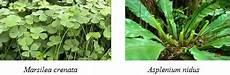 Klasifikasi Tumbuhan Paku Pengertian Ciri Habitatnya