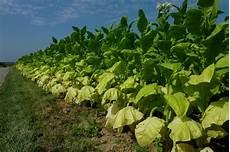 tabakfeld in der rheinebene hier wird die 252 ber 2m hohe