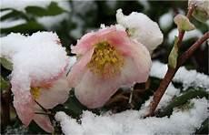 fiore con la a di natale piante perenni caratteristiche delle