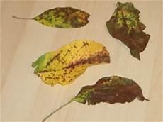 apfelbaum hat braune blätter winter 228 pfel im lubera 174 gartenshop