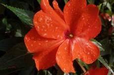 flei 223 iges lieschen 187 pflanzen pflegen vermehren und mehr