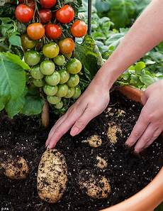kartoffel tomaten pflanze tomtato plant that produces both potatoes and tomatoes
