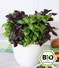 bio pesto basilikum 1a pflanzen kaufen baldur garten
