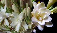 tuberose fiori piante