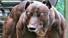 hunderassen mit bild 10 gef 228 hrlichste hunderassen der welt