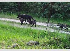 washington wolves hockey