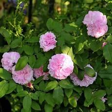 rosiers grimpants anciens rosier ancien jacques cartier rosier guillot plantes