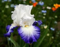 iris fiore immagini iris