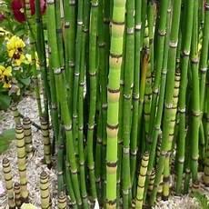 prele du japon en pot pr 234 le pr 234 le du japon vente en ligne de plants de pr 234 le
