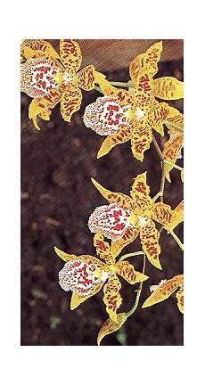 giftige orchidee