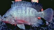Afiesh Sp Cara Membedakan Ikan Nila Dan Mujair