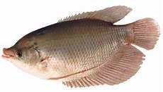 10 Manfaat Ikan Gurame Bagi Kesehatan Manfaat Co Id