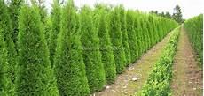 pflanzen für hecke baumschule 2000 de rund um heckenpflanzen