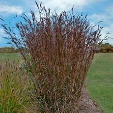 Bluestem Big Add Motion To Your Garden With The