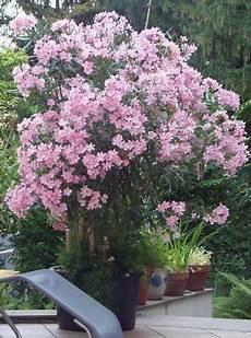 Oleander Draussen überwintern - oleander 252 berwintert im freien amazing plants oleander