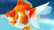ikan koki stres apa yang perlu dilakukan goldfish