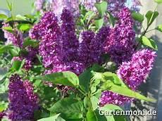 flieder bl 252 ht l 228 nger in der vase flieder pflanzen und vase