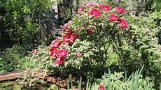 was macht mit pfingstrosen nach der blüte strauchpfingstrose schneiden mein sch 246 ner garten forum