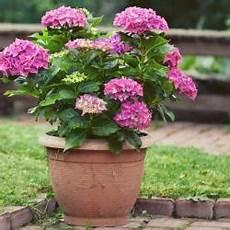hortensie pflanzen pflege und tipps mein sch 246 ner garten