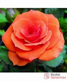 23 Gambar Bunga Mawar Gambaran Richa Gambar