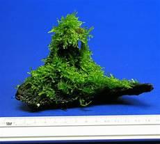 exotisches weihnachtsbaum moos auf sch 246 ner wurzel ebay