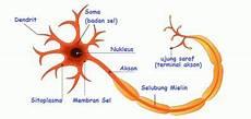 Pengertian Struktur Sel Saraf Dan Bagian Bagian Neuron