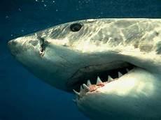 Pamacca Hiu Shark