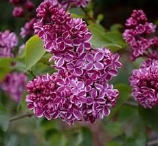 fiori lilla nomi lilacs light in leaves