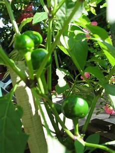 coltivazione melanzane in vaso la magia di un piccolo orto orto in vaso
