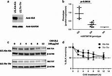 the sle variant ala71thr of blk severely decreases protein