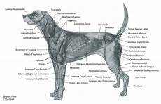 Dog Muscle Chart Canine Muscular Anatomy Dog Muscles Diagram Http Www