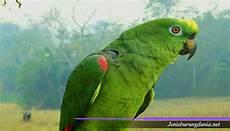 Ciri Ciri Burung Nuri Tanau Jantan Dan Betina Ini Cirinya