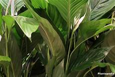 Einblatt Lässt Blätter Hängen - einblatt scheidenblatt spathiphyllum pflege plantopedia