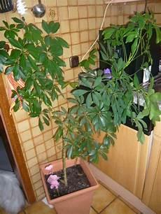 Echter Zimmerpflanze Kaufen - echte zimmerpflanze palme 1 meter hoch in pfaffenhofen