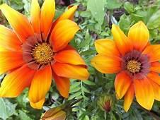 Two Beautiful Flowers Gazania Orange Color  Wallpapers13com