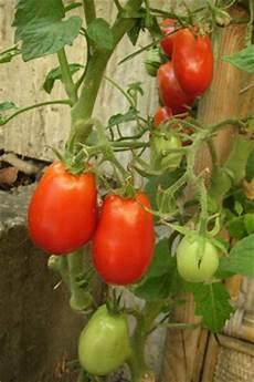 vom wachsen und werden tomatensorten roma