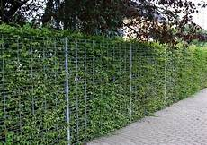 die hecke natuerlicher zaun und hainbuchenhecken preiswertes heckengeh 246 lze carpinus
