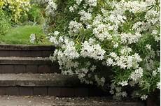 l oranger du mexique l arbuste aux petites fleurs