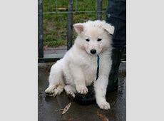 zwitserse witte herder pups Faelyn