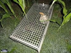 gabbie trappola rese innocue nella notte le gabbie trappola per le nutrie