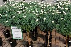 Marguerite Sur Tige Da Ara Bitki Plant