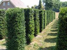 Eibe Taxus Baccata - taxus baccata yew trees hedges practicality