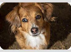 Suzy Q   Adopted Dog   Double Oak, TX   Dachshund