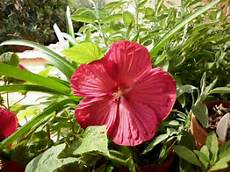 hibiscus entretien d 233 clic bio hibiscus moscheutos