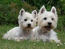 scottish terrier prix west highland white terrier is westies white terrier west highland white white dogs