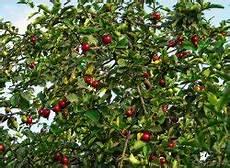 meine kirschbaum tipps f 252 r deinen garten