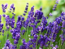 Abnehmen Mit Lavendel Der Trick Eat Smarter
